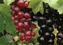 Если нет ранних сортов винограда