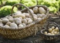 Нитраты в картофеле