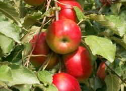 Яблони в два раза старше лимона и вишни