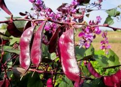Можно ли употреблять семена декоративной фасоли?