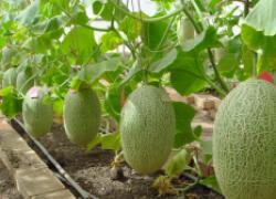 Как вырастить ароматные и пузатые дыни