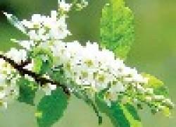 Выращивание черемухи