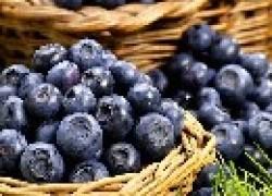 Практические советы по выращиванию черники и голубики