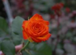 Как подольше сохранить срезанные розы