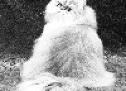 Жирный хвост у кота