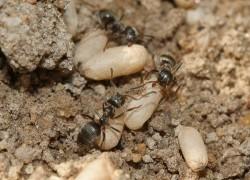 Как я победила муравьев