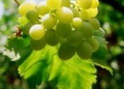 Виноградник после града