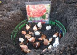 Сажаем тюльпаны в сачок