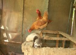 Кто душит кур в курятнике?