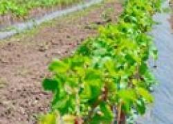 Как выбрать саженец винограда