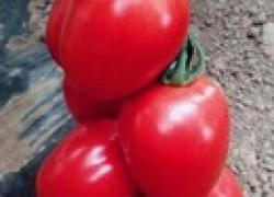 Хвойная вытяжка для томатов
