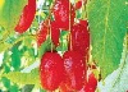 Гуми серебристая вишня