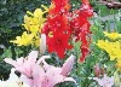 Как помочь лилии перезимовать