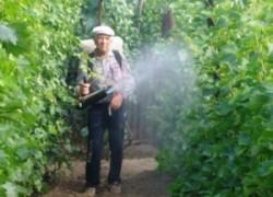 Внекорневая подкормка и опрыскивание винограда