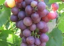Новинки селекции винограда