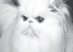 Персидская кошка — пушистое счастье