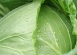 Как сохранить тугой кочан у капусты