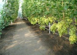 Виноград в теплице лучше опыляется