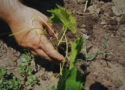 Как размножить виноград отводками. ВИДЕО
