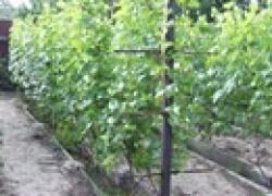 Зачем и как прореживают грозди