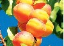 Разноцветные абрикосы