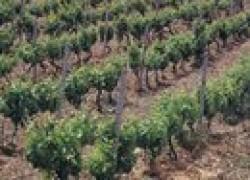 Посадка винограда черенками