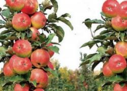 Надо ли обрезать колоновидные яблони?