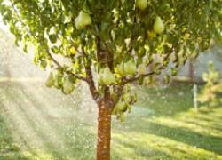 Как восстановить плодоношение старого сада