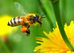 Пчелиное маточное молочко - надежный помощник при сердечно-сосудистых заболеваниях и гипертонии