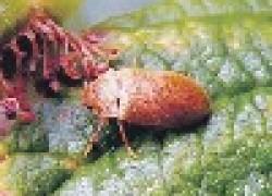 Малинный жук – причина червивых ягод и дырявых листьев