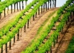 Короткая и длинная обрезка винограда