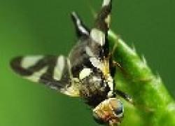 Вишневая муха: убрали черешню, защищаем вишню
