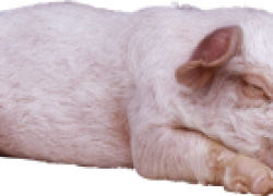 У свиньи отнялись ноги