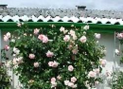 Декорируем сад плетущимися лианами
