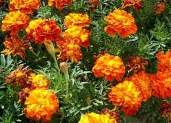 Бархатцы: любимые старожилы цветников