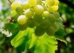 Срочная пересадка кустов винограда