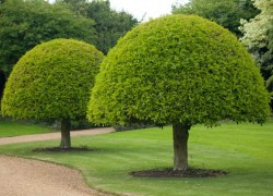 На каком расстоянии сажать деревья друг от друга