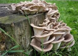 Выращиваем грибы и лечимся