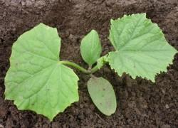 Как правильно посадить рассаду огурцов в грунт