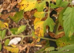Когда у томата желтеет листва