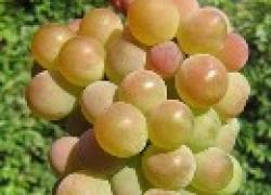 Виноград из Прибалтики