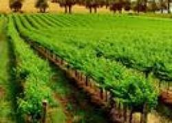 Советы по выращиванию винограда