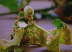 Как бороться с курчавостью листьев персиков. ВИДЕО