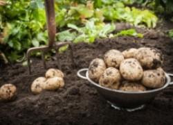 Несколько интересных способов выращивания картофеля
