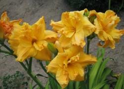 Секреты цветения лилейников
