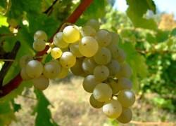 Виноградник после града: меры спасения