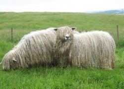 Овцы породы Линкольн