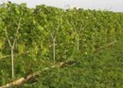 Ремонт виноградника