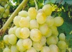 Секреты крупной грозди