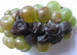 Защита и профилактика от гнилей на винограднике